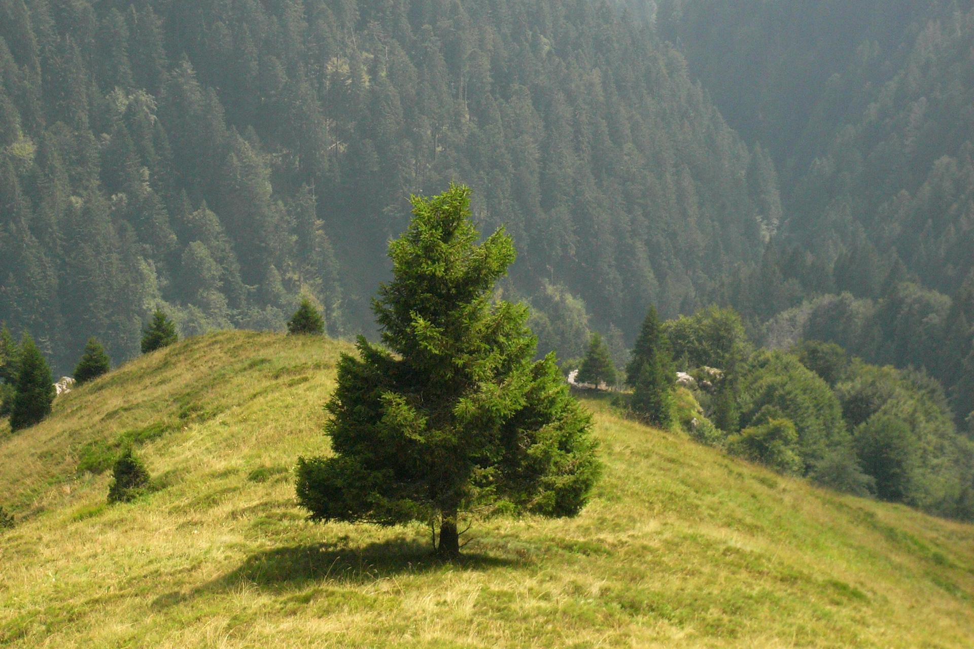 Baum, Alpen