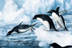 Antarktis Pinguine bei Carus Reisen